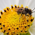 Bee on a yellow flower by Richard Majlinder