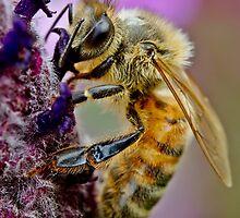 Bee on purple flower by Richard Majlinder