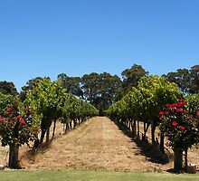 Vineyard @ Voyager Estate, Margaret River by Diana Sénèque