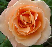 Peachy Rose by TREVOR34