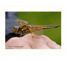 Four-spotted Chaser dragonfly in the hand Art Print