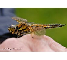 Four-spotted Chaser dragonfly in the hand Photographic Print