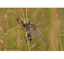 Black-tailed Skimmer dragonfly lunching on a Banded Demoiselle Photographic Print