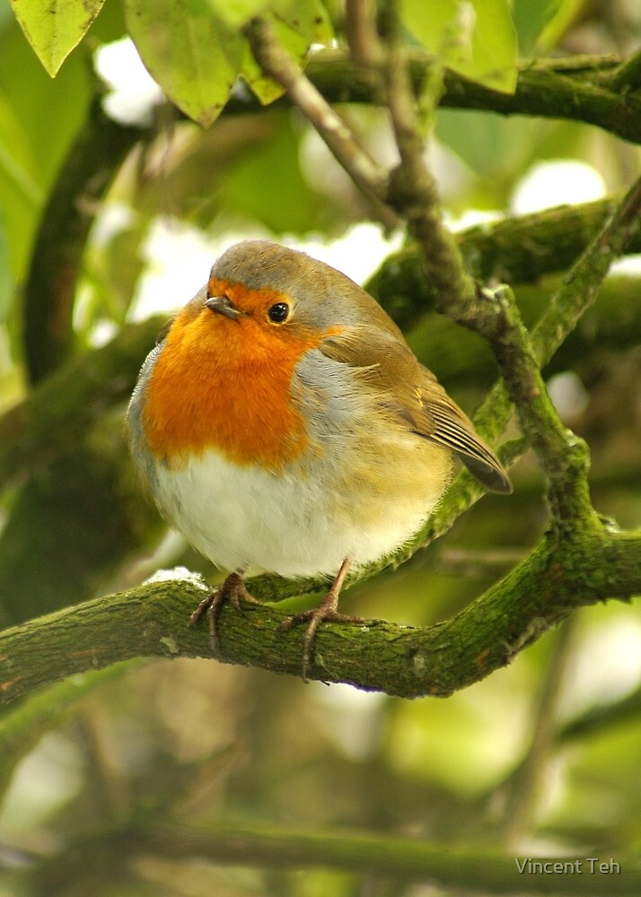 Robin 2 by Vincent Teh
