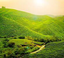 Tea Plantation - Malaysia by kuma-x