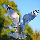 Ring-billed Gull by D R Moore
