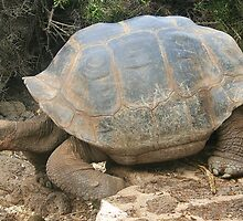 Galapagos Giant Tortoise by Laurel Talabere