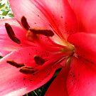 Lilies by Ana Belaj