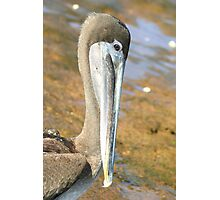 Brown Pelican Up Close on Bartoleme Beach Photographic Print