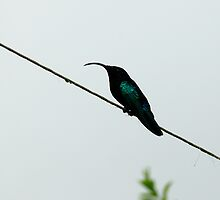 Humming Bird - Martinique, FWI by Olivia Son