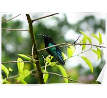 Humming Bird - Martinique, FWI Poster