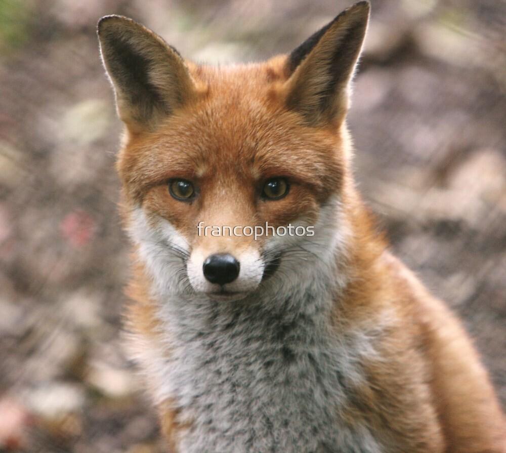 Red Fox by Franco De Luca Calce