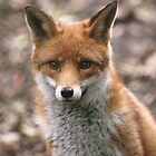 Red Fox by Franco De Luca Calce