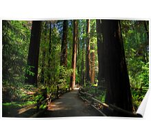 Alone With Giants - Muir Woods National Monument Poster