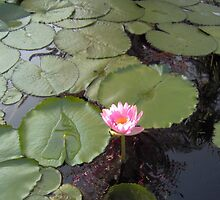 Water Lily - Lotus 1 by Alejandro Cuadra