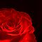 Red Rose. by Vitta
