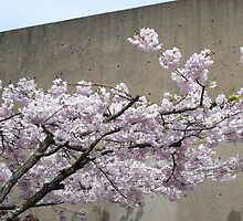 Cherry Blossoms in Downtown Bellingham by rferrisx