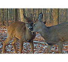 Deer sweet love Photographic Print