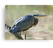 Great Blue Heron on branch Canvas Print