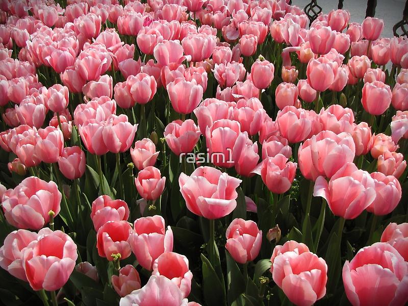 Tulips of Istanbul-TURKEY by rasim1