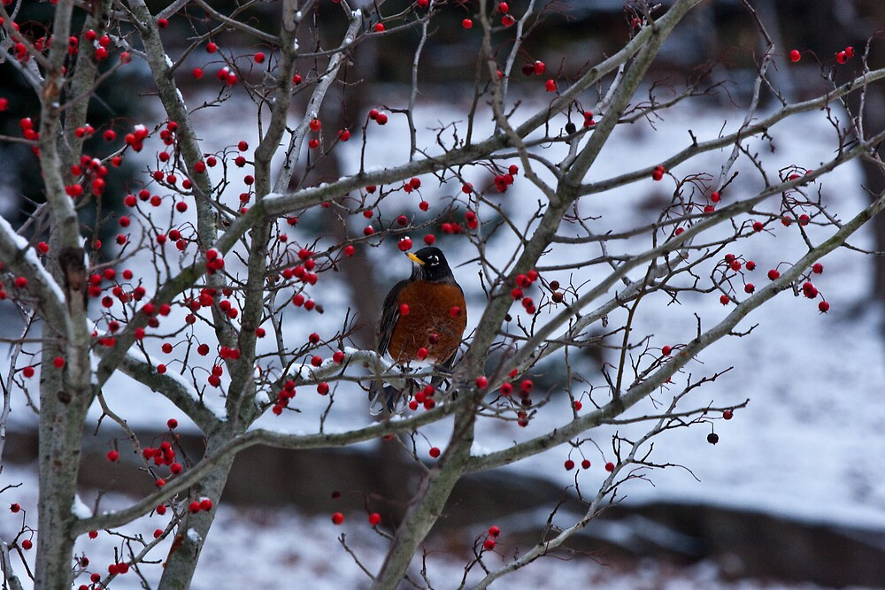 Robin and Red Berries--Riverside Park NYC In Snow by Dave Bledsoe