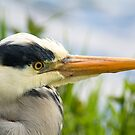 Peebles Heron by Shaun Colin Bell