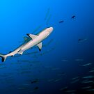 Reef Shark by Carlos Villoch