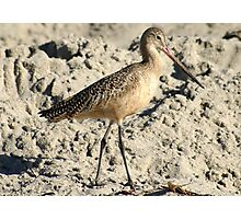 Shorebird aka Marbled Godwit Photographic Print