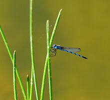 Blue Dragon Fly by Bas Van Uyen
