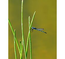 Blue Dragon Fly Photographic Print