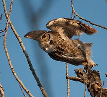 Great Horned Owl - taking off from its vantage point by Joy Leong-Danen