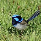 Superb Blue Wren, Australia by BronReid