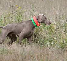 Weimaraner on Point by Leslie Nicole
