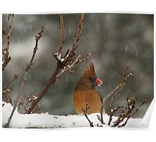 Northern Cardinal Female in Snow Poster