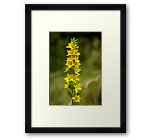 Dotted Yellow Loostrife, Muckross Head, Donegal Framed Print