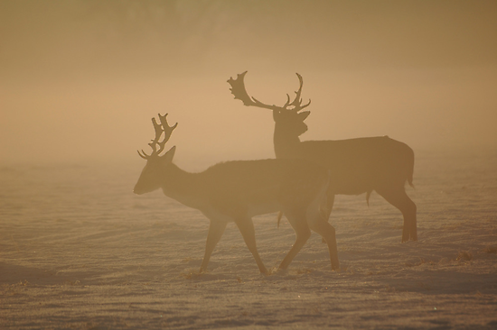 Fallow Deer by Declan Carr