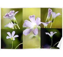 Oxalis collage Poster
