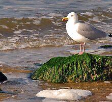 Herring Gull by Adri  Padmos