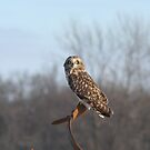Short Eared Owl by Dave & Trena Puckett
