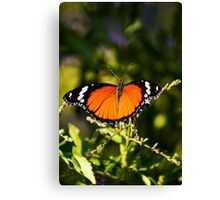 Danaid Eggfly or Mimic Butterfly (female) Canvas Print