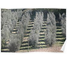 Olive Orchard Poster
