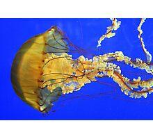 Beautiful Nettlefish Photographic Print