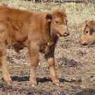 Red Angus Calf...  by MaeBelle