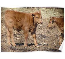 Red Angus Calf...  Poster