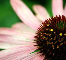 Purple Cone Flower by Matthew Hutzell
