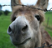The Curious Donkey, Belgium by Di Mackey