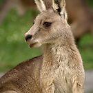 Eastern Grey Kangaroo - Cardinia Reservoir, Victoria by James Millward