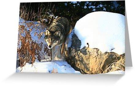 """""""  Timber Wolf  """" - In the Wild   by fortner"""