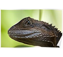 Eastern Water Dragon - Physignathus lesueurii Poster