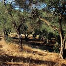 Fire designated olive trees by loiteke